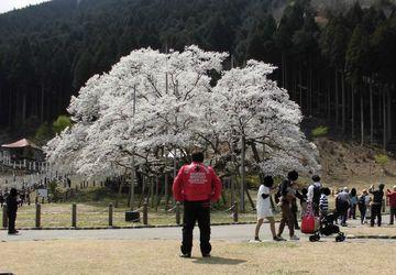 墨俣の桜~淡墨桜~郡上八幡(岐阜県) | Webikeツーリング