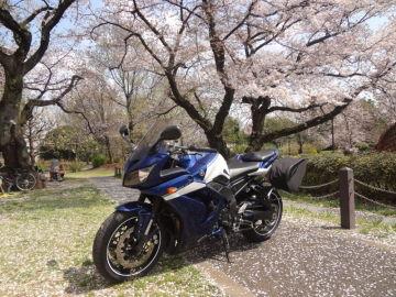 近所の大きなつがいの桜 | Webikeツーリング
