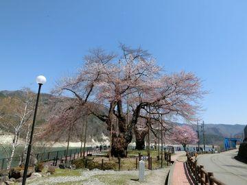荘川桜、そして牛串 | Webikeツーリング