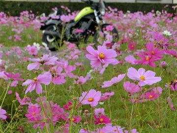 コスモスが咲いたそうです、今年は遅いなぁとは思いましたが見れました。 | Webikeツーリング
