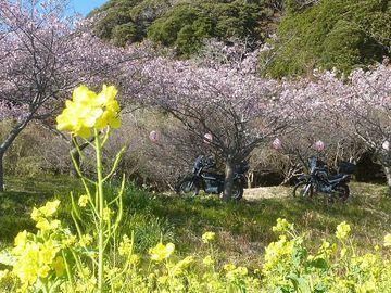 もう立春♪...梅も咲いたし♪桜も咲いた♪黄金アジは旨かった♪≠(^q^)v   Webikeツーリング