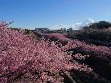 三浦海岸の河津桜 | Webikeツーリング