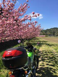 八重桜 | Webikeツーリング