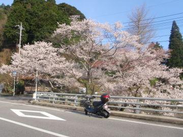 三隅の佐々木桜です | Webikeツーリング