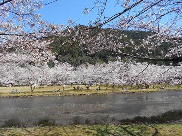 花粉症真っ盛り・・・・桜・さくら・マジ綺麗 | Webikeツーリング