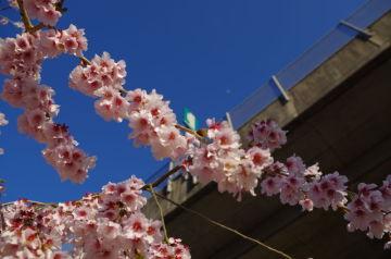 4/14 桜の名所に | Webikeツーリング