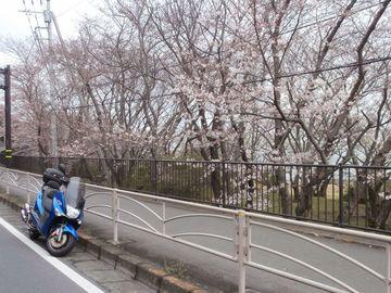 横須賀走水 サクラの開花情報 | Webikeツーリング