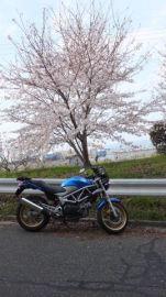 近所の桜   Webikeツーリング
