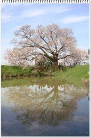 一本桜  宴会は似合わない。。。(*^_^*) | Webikeツーリング