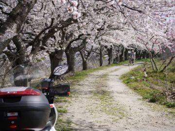 身近な桜   Webikeツーリング