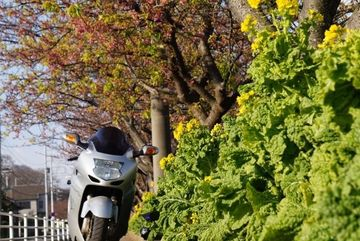 三浦海岸のサクラ 開花状況 | Webikeツーリング