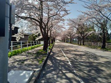 桜満開!地元の桜名所めぐり+おまけ付き。   Webikeツーリング