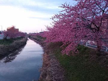 河津桜の見頃迎えた、鷲宮。これからの権現堂 | Webikeツーリング