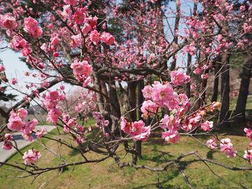 花見に行ってみたり。 | Webikeツーリング