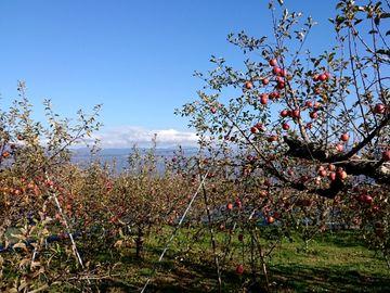 リンゴを買い付けにリンゴ狩り | Webikeツーリング
